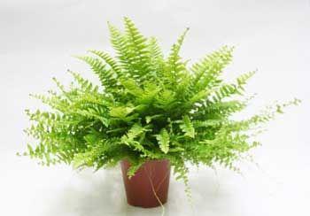 5 Plantas de interiores que darán un toque especial a tu casa. Helecho Samambaia